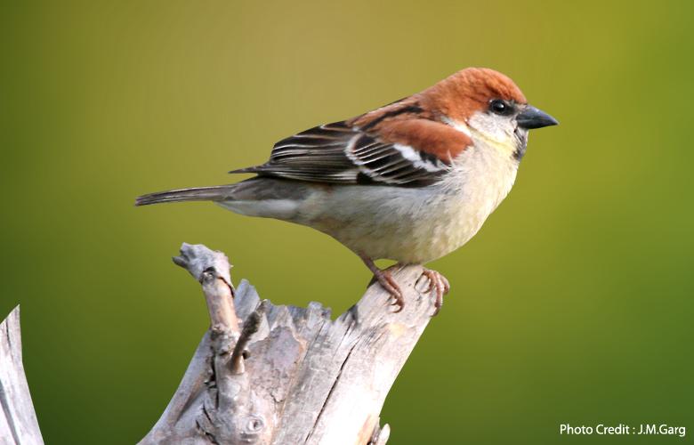 russet-sparrow